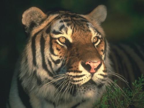 Tiger screensavers and wallpaper wallpapersafari - White tiger wallpaper free download ...