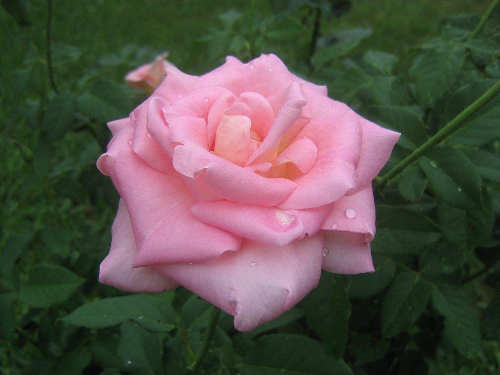 Fonds dcran roses Roses roses romantiques   fonds dcran 1024x768