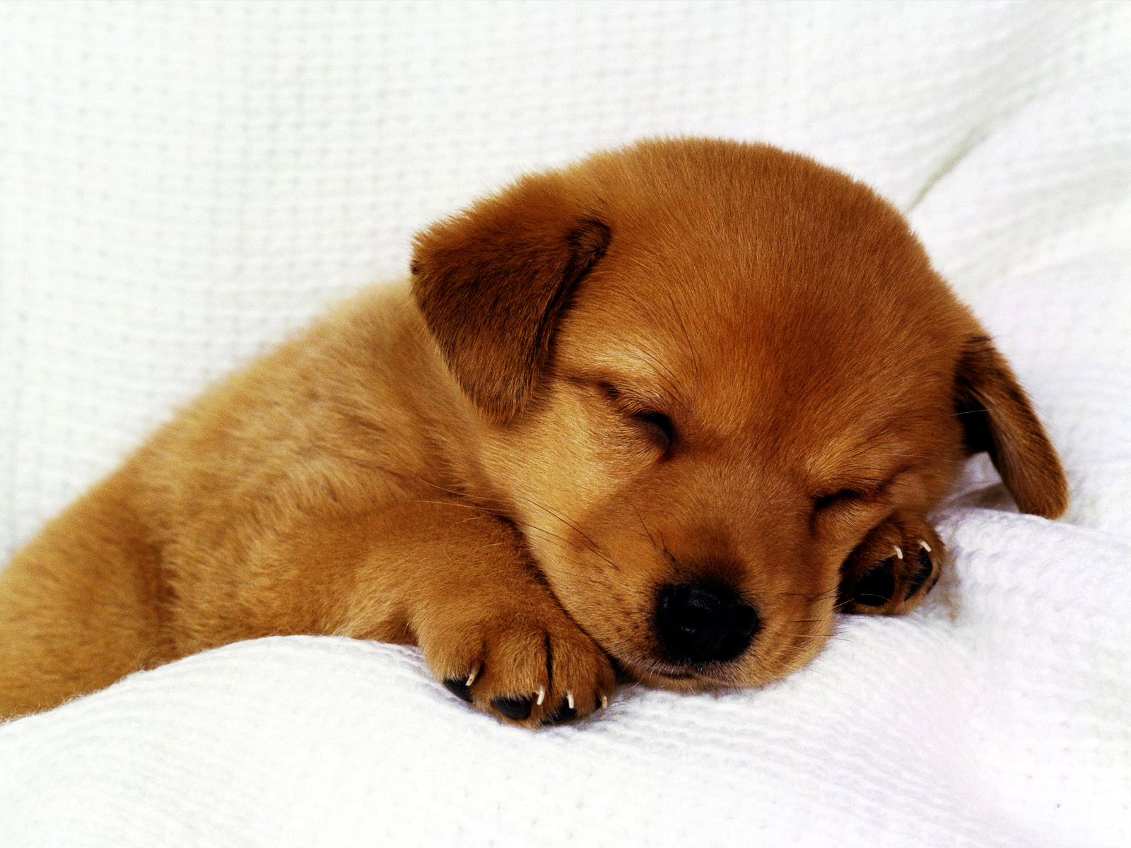 Cute Puppies HD Wallpapers Collection Download Wallpapers in HD 1600x1200
