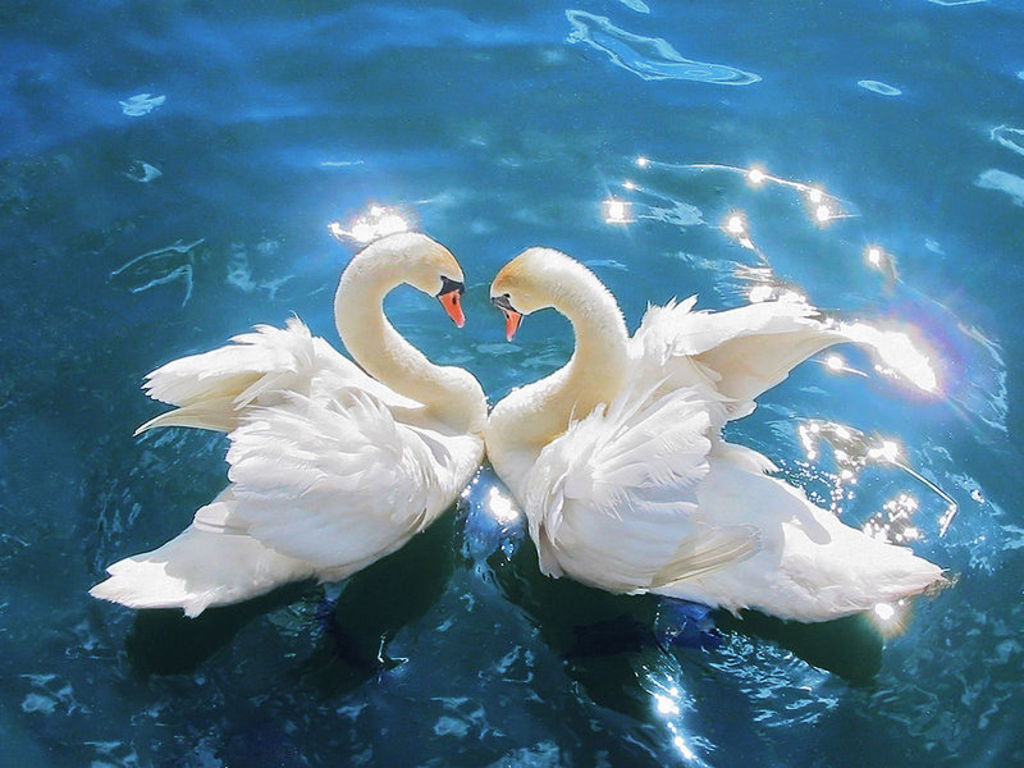swan wallpapers swan desktop wallpapers swan desktop backgrounds swan 1024x768