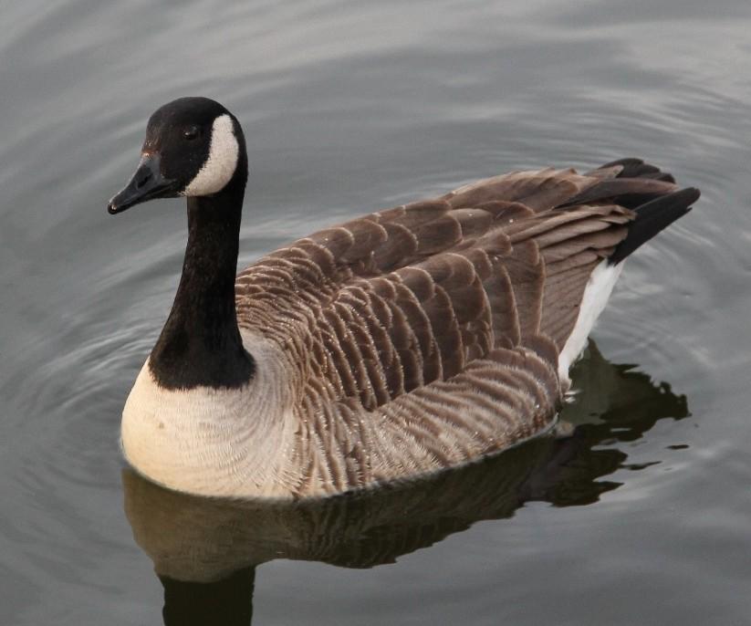 Canada Goose Wallpapers Downloads Goose Canada Goose Canada 823x686