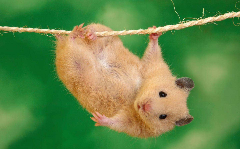 Fondo de Pantalla Hamster   Wallpapers HQ 1080p 1440x900