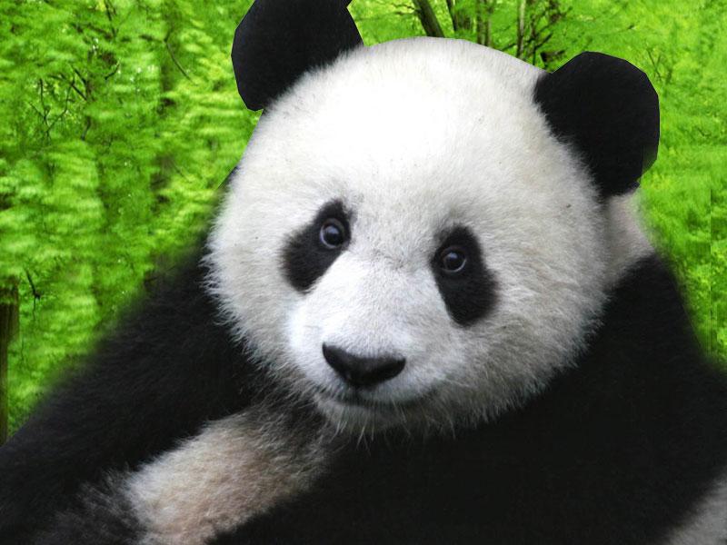 Panda Desktop WallpapersComputer Wallpaper Wallpaper Downloads 800x600