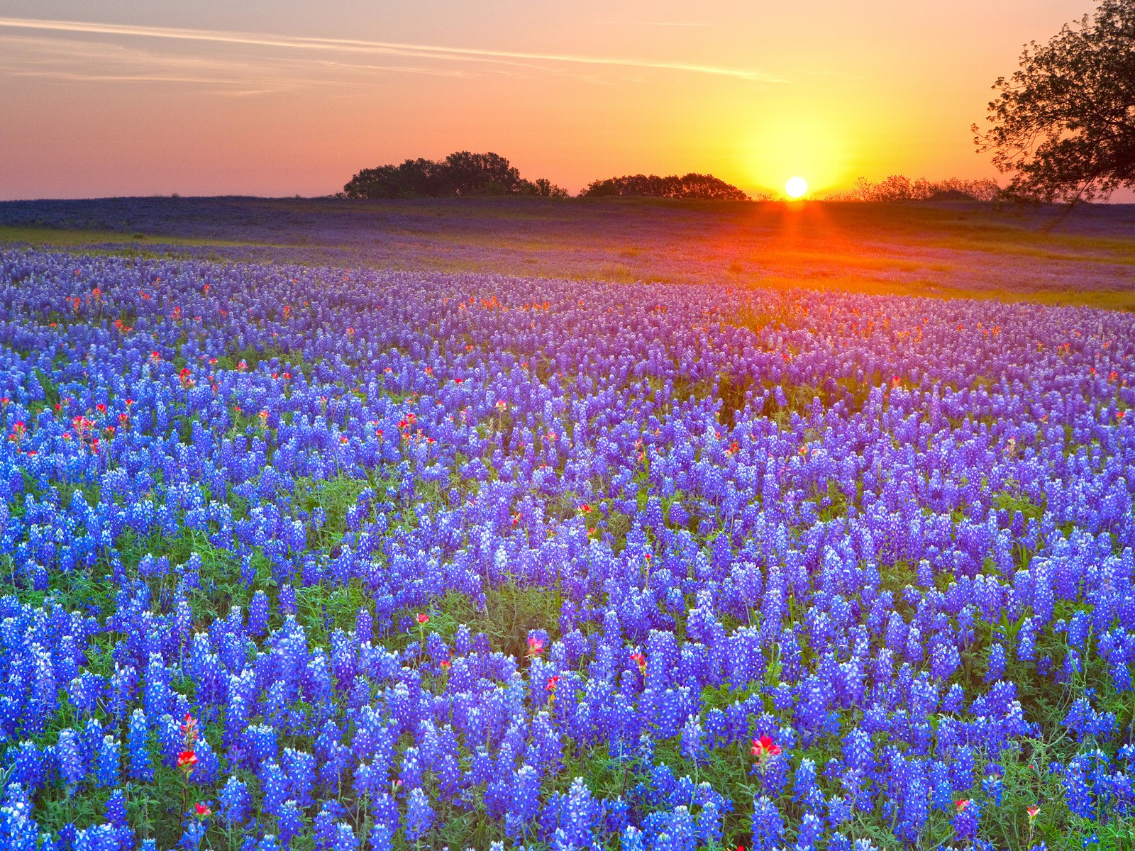 Country Texas Bluebonnet wallpaper 1600x1200 206392 WallpaperUP 1600x1200