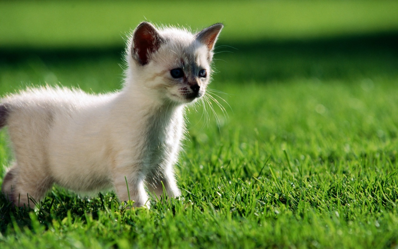 1280x800 White kitten desktop PC and Mac wallpaper 1280x800