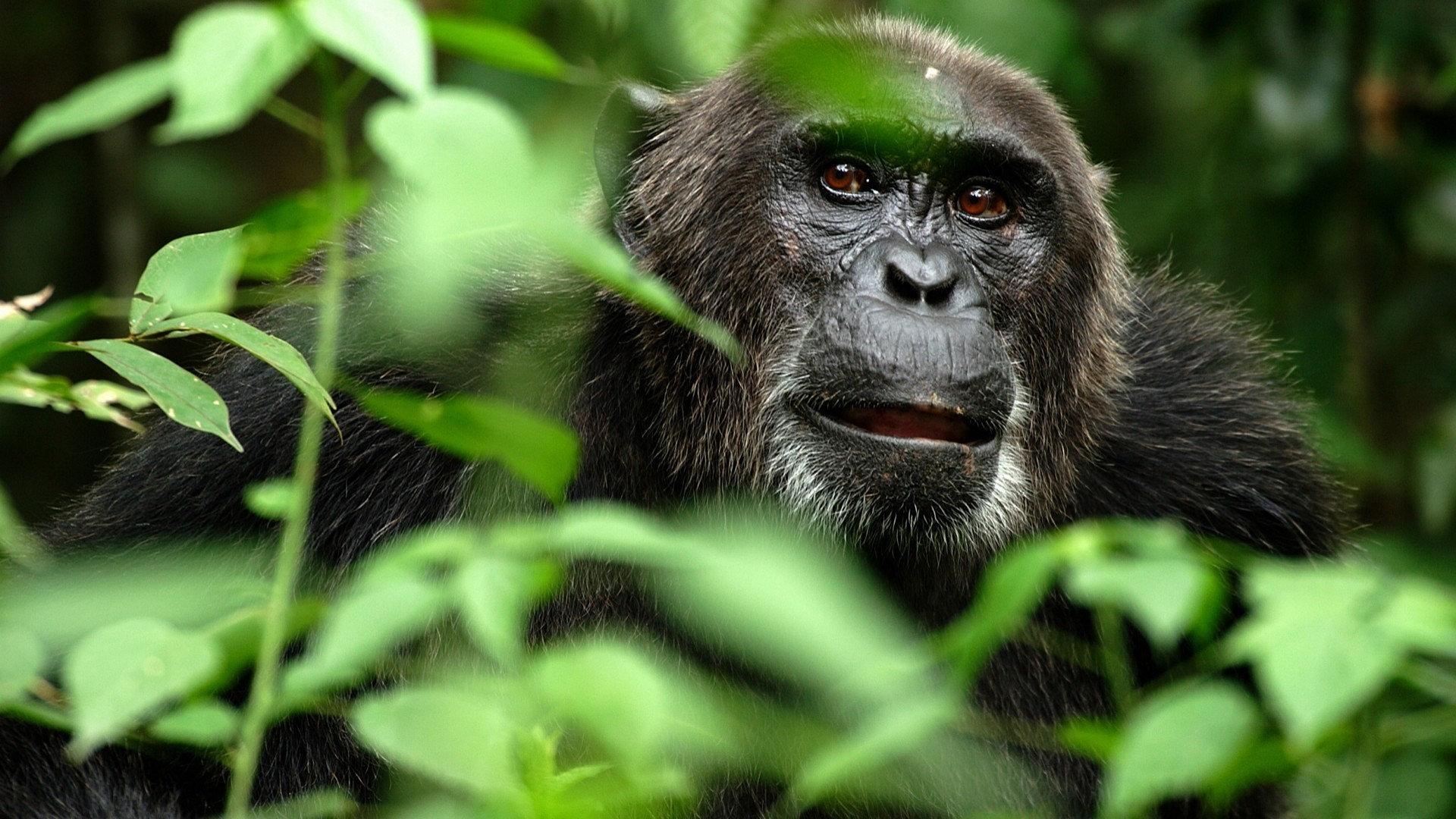 Animal   Monkey Gorilla Wallpaper 1920x1080