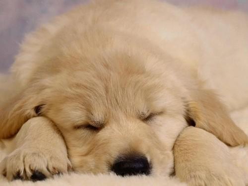 Sleeping Puppy Screensaver Screensavers   Download Sleeping Puppy 500x375