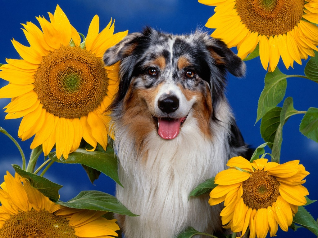 Australian Shepherd desktop wallpaper 1024x768