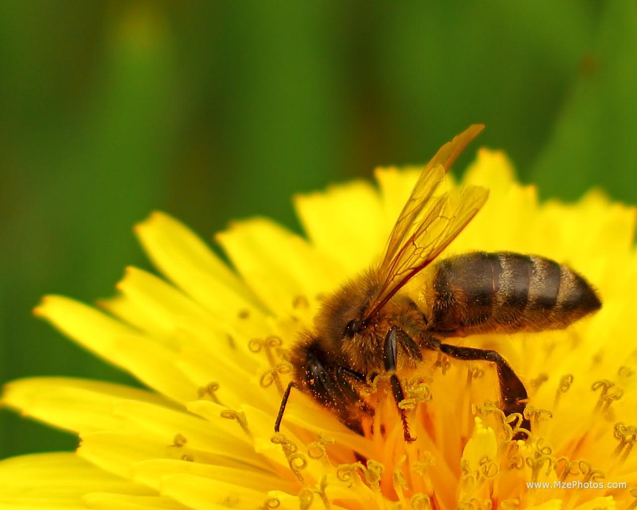 Honey Bee Macro Photo 1280x1024