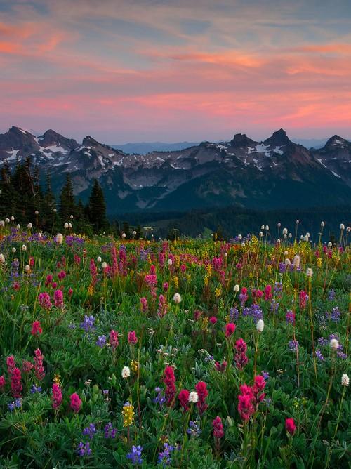 mount rainier meadow flowers wallpaper