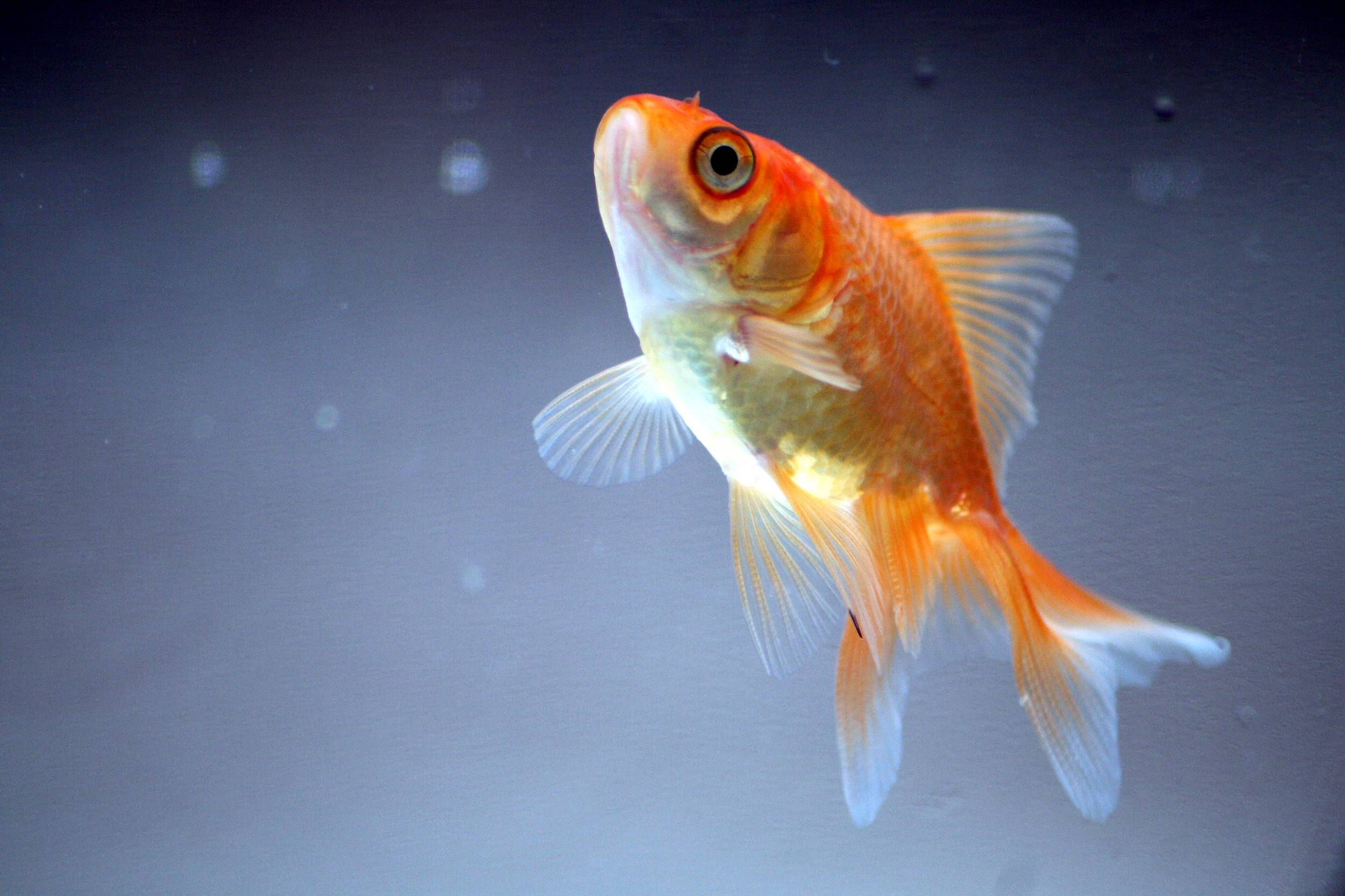 Goldfish Wallpapers 2496x1664