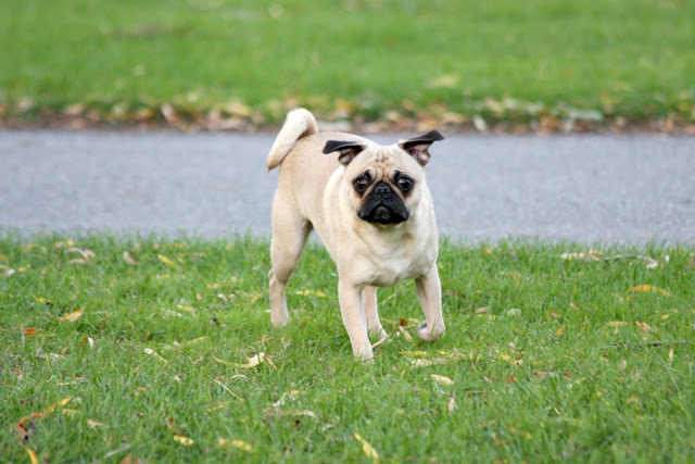 Pug Dogs Full HD Wallpapers Pug Dogs HD Wallpapers 2012 640x427