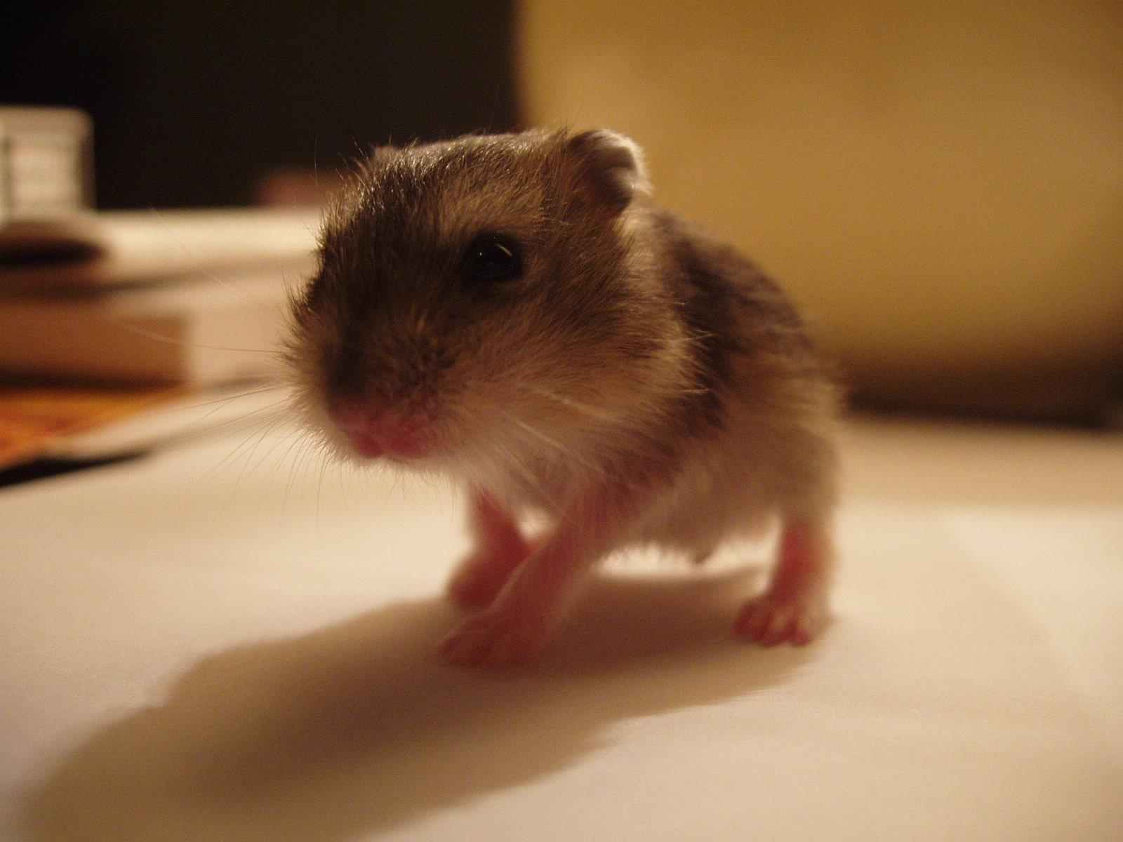 Cute Hamster Walk Alone Wallpaper Wallpaper ME 1600x1200