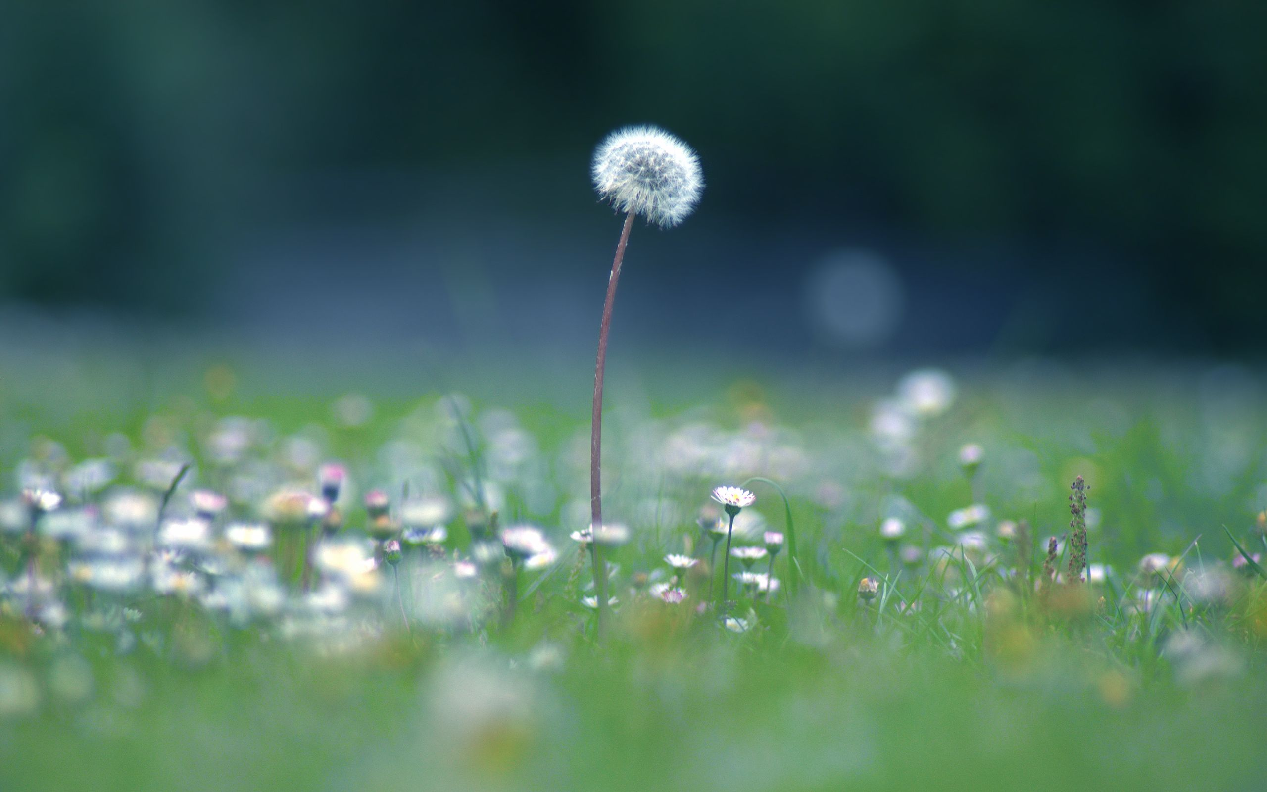 Dandelion Desktop Wallpaper 2560x1600 2560x1600