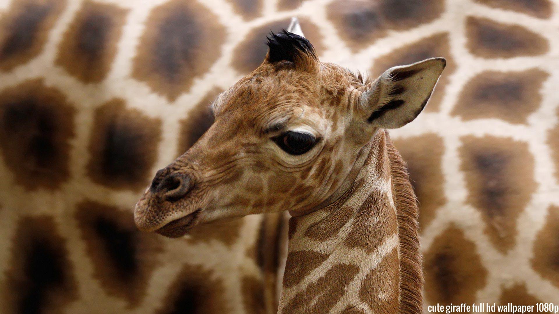 <b>Giraffe Wallpapers</b>