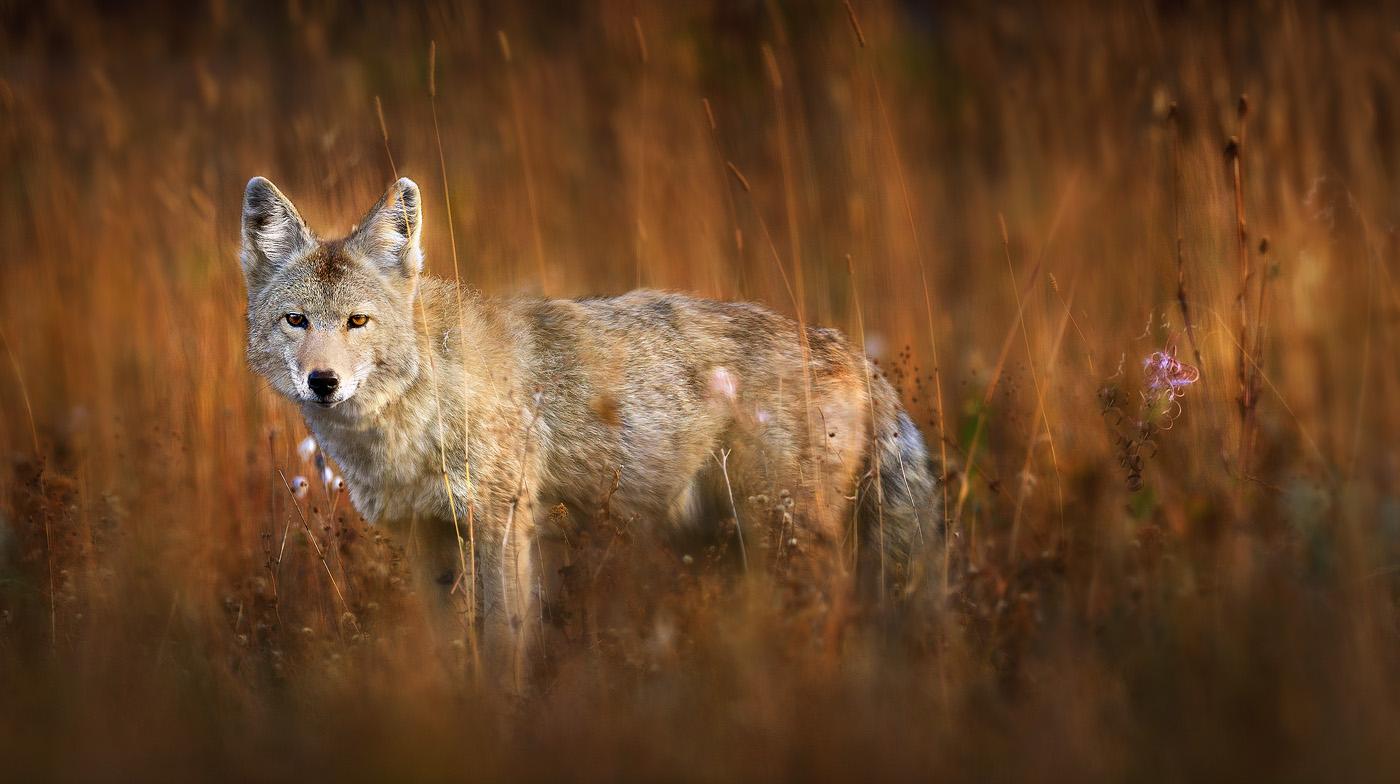 Cool Coyote Wallpapers - WallpaperSafari