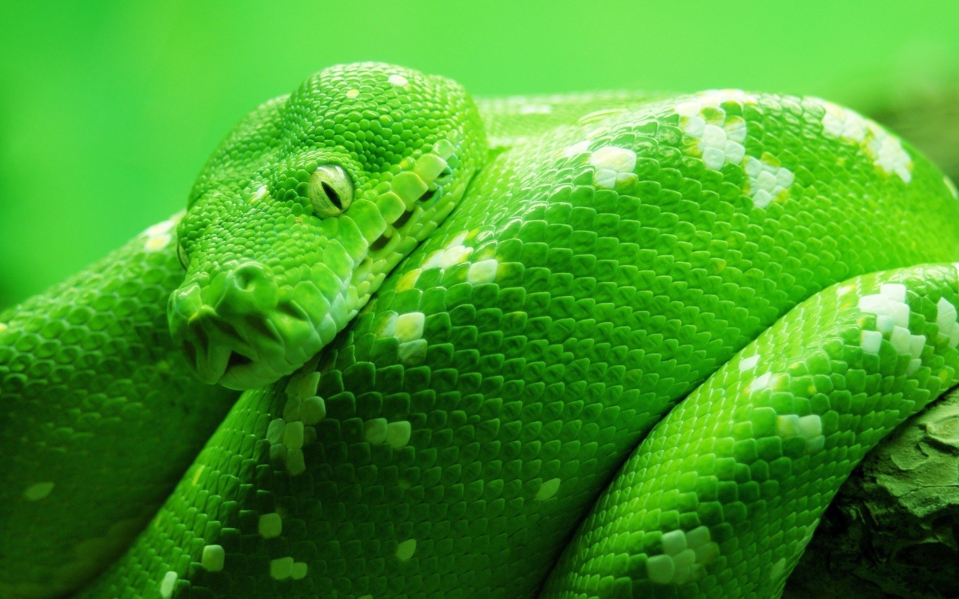16k resolution wallpaper wallpapersafari - Green snake hd wallpaper ...