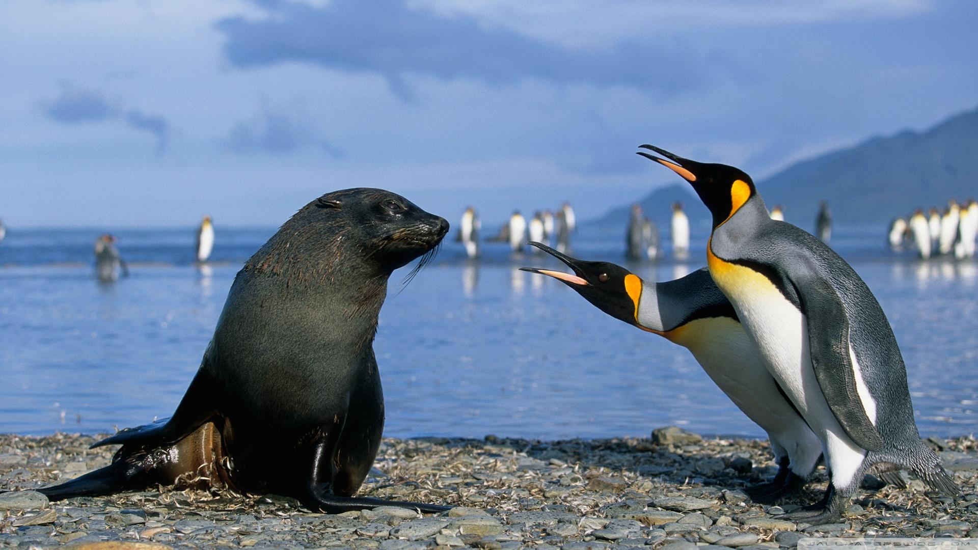 Two King Penguins And A Seal Antarctica 4K HD Desktop 1920x1080