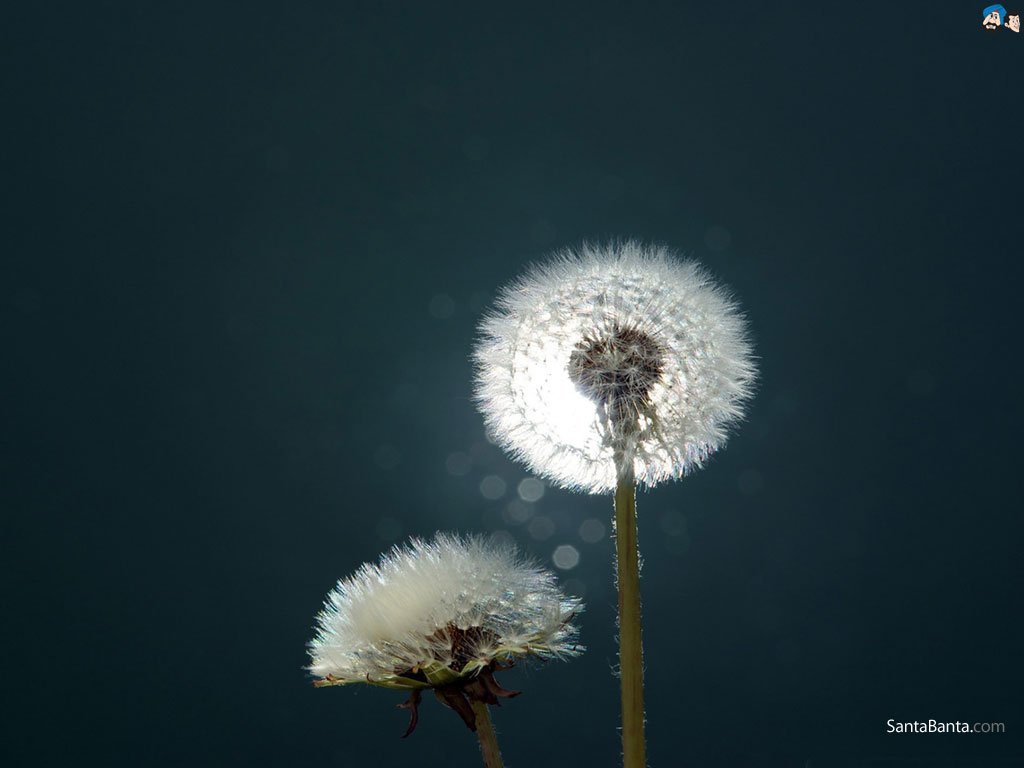 Blowing Dandelion Wallpaper 1024x768