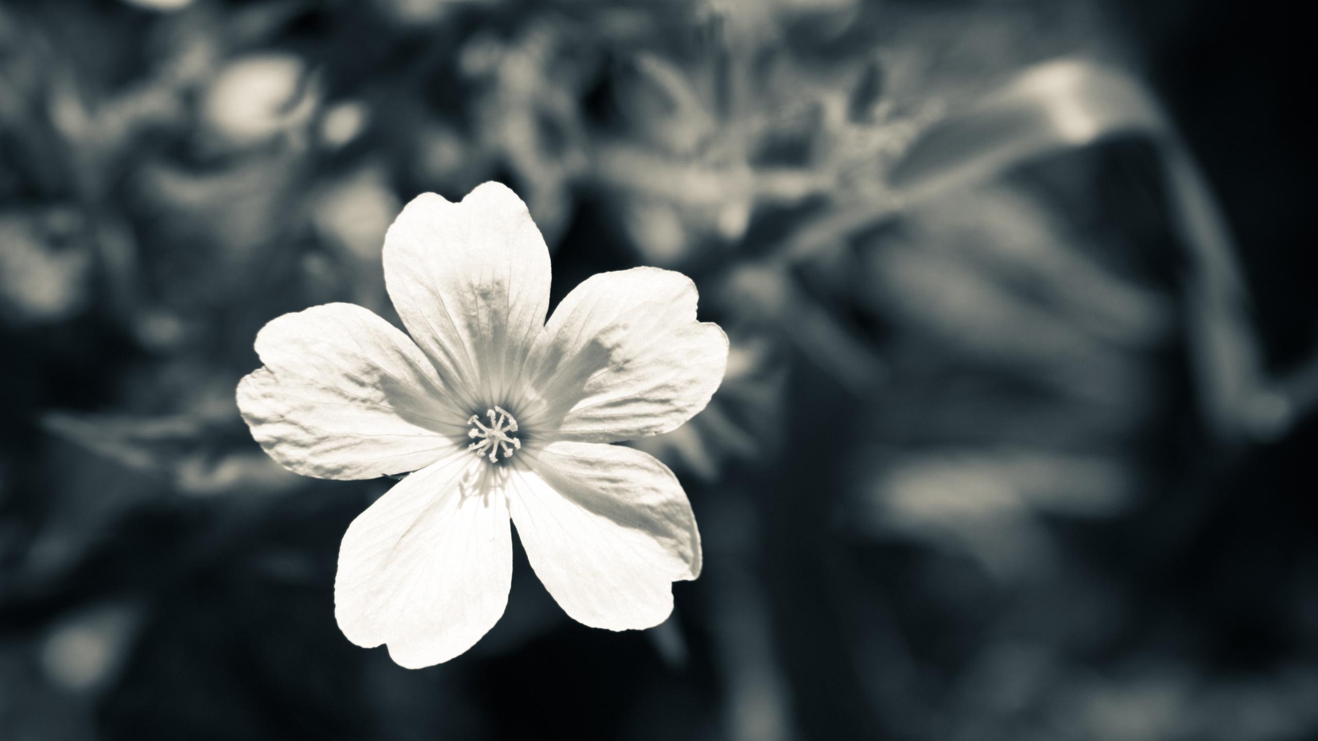 euImac Flower Black And White Wallpaper 2560X1440 Wallpaper 2560x1440