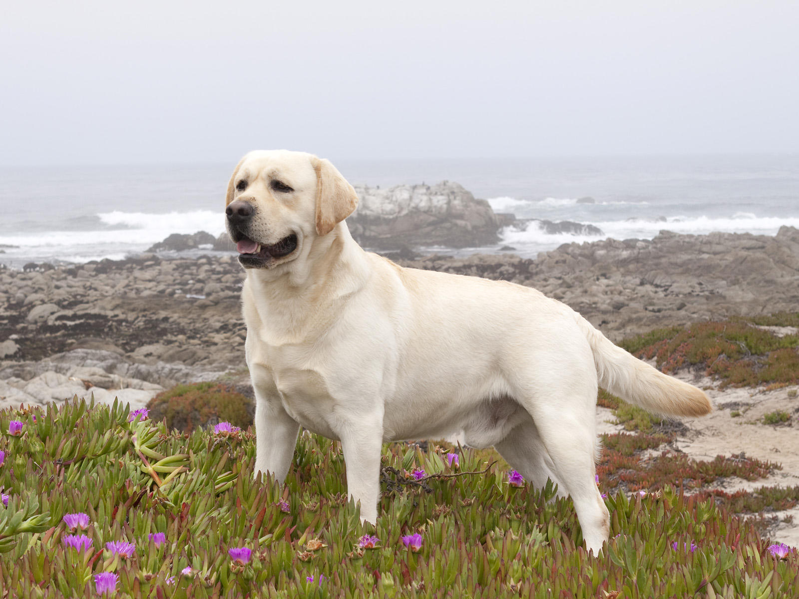 Labrador Retriever Wallpapers High Resolution and Quality Download 1600x1200