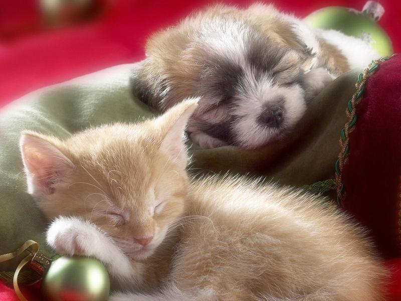 cat dog Christmas Animals Other HD Desktop Wallpaper 800x600
