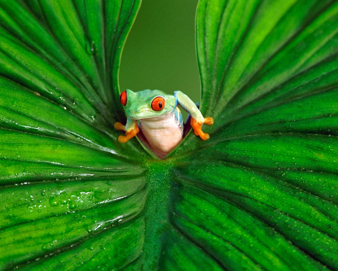 Frog Wallpaper HD 1280x1024