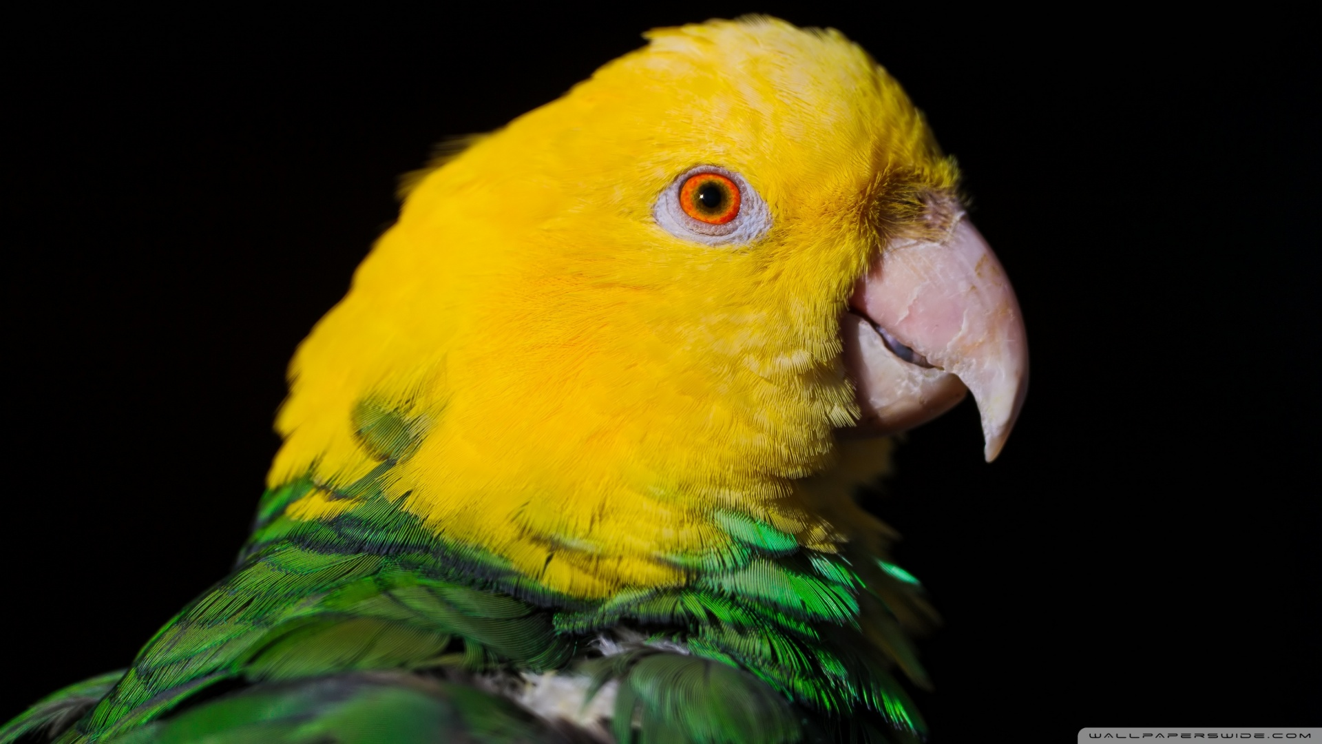 Green And Yellow Parrot Wallpaper 1920x1080 Green And Yellow Parrot 1920x1080