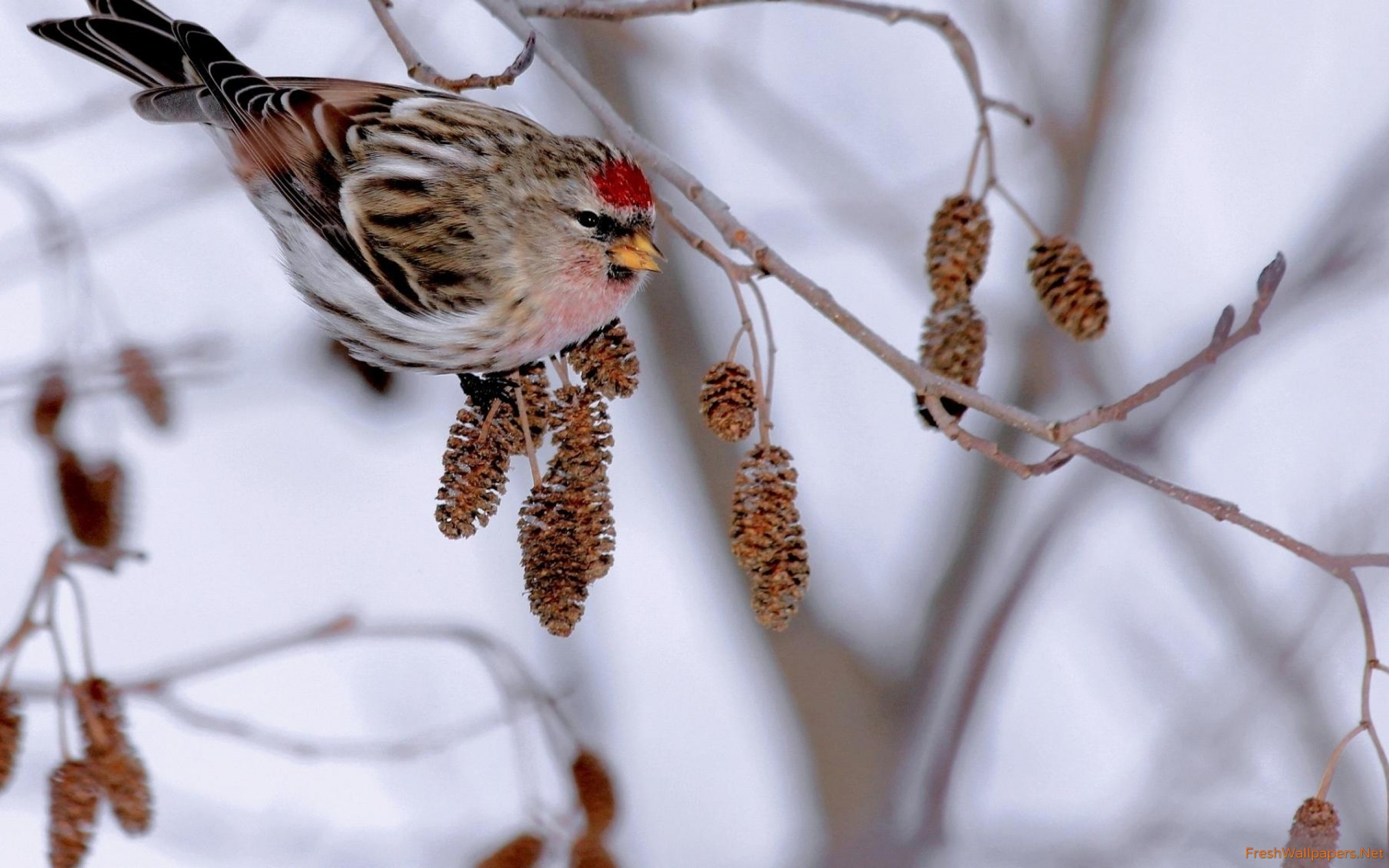 Mealy redpoll on a winter branch wallpapers Freshwallpapers 2560x1600