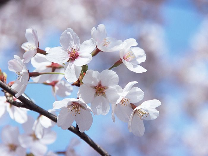 japanese cherry blossom wallpapers vol 121 ez181 wallpaper 2 japanese 700x525