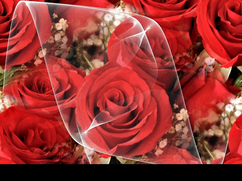 Pictures Images and Photos Wallpaper Of Red Roses 9429241 Fanpop 800x600