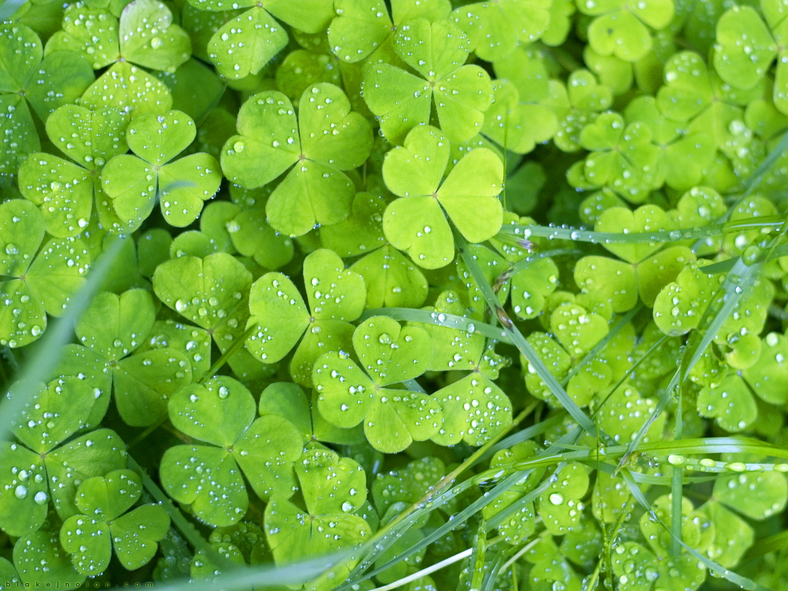 Irish Clovers wallpaper 1600x1200