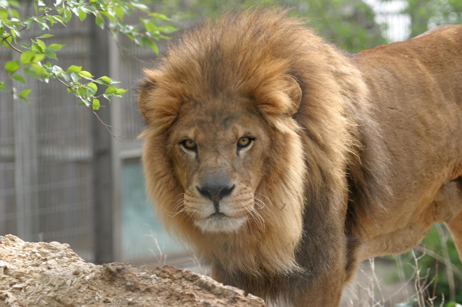 Lion HD Wallpapers 1080p