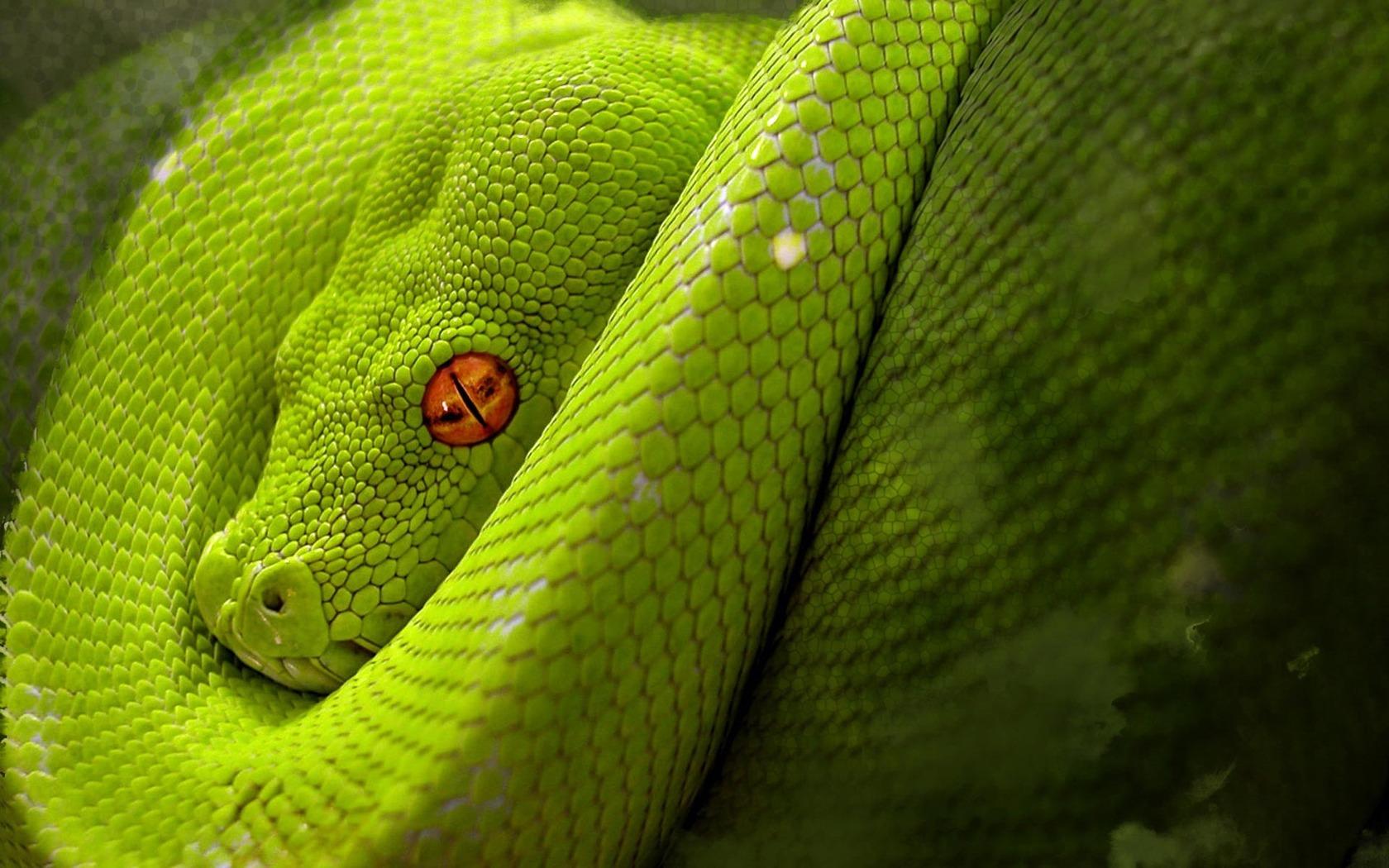 venomous snake wallpaper venomous snakes images dowload venomous 1680x1050
