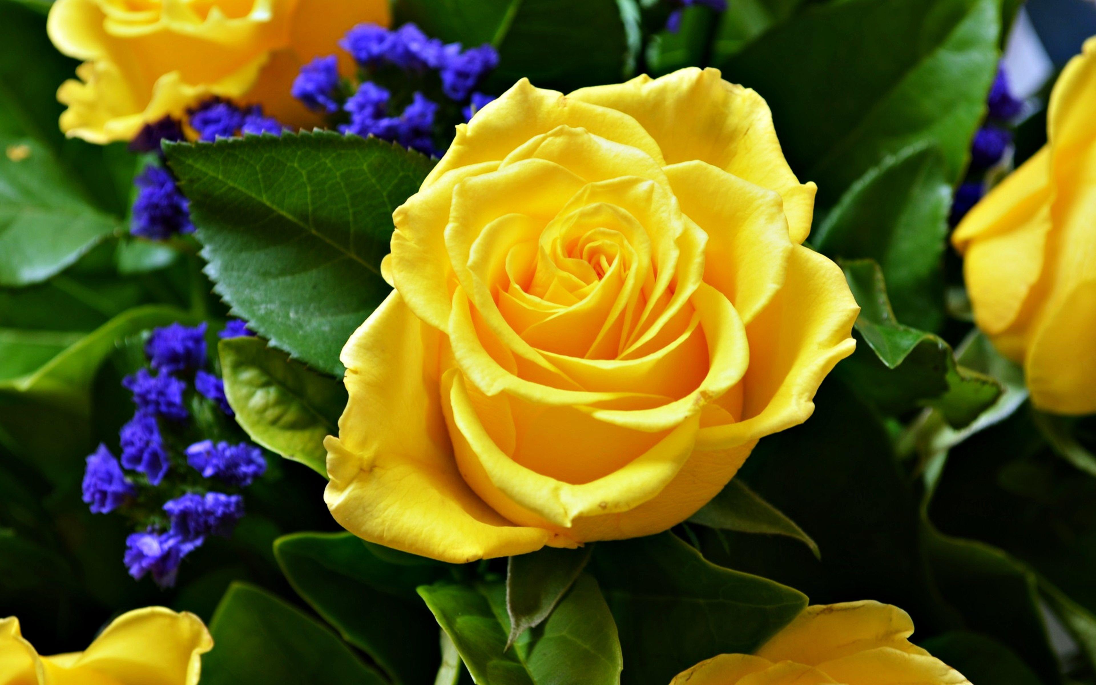yellow love rose - HD3840×2400