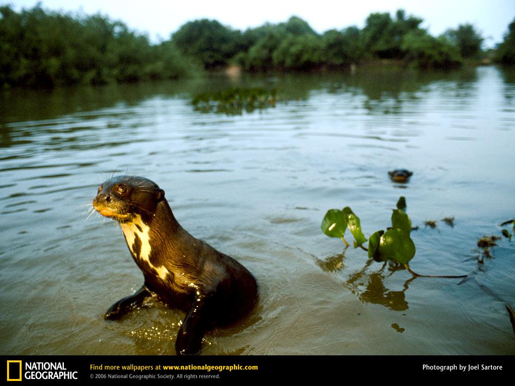 River Otter Picture River Otter Desktop Wallpaper Wallpapers 1024x768