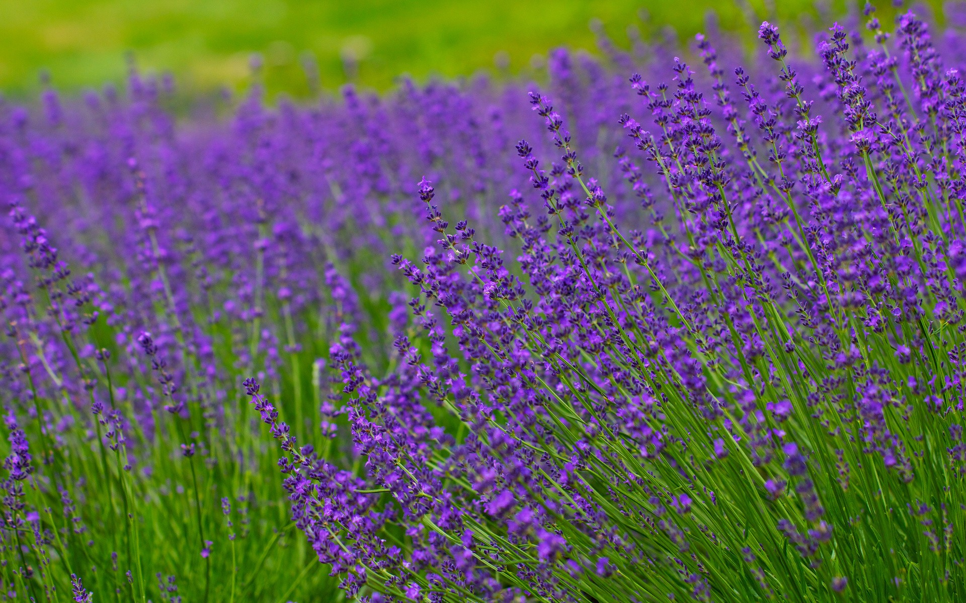 Lavender field hd wallpaper background   HD Wallpapers 1920x1200