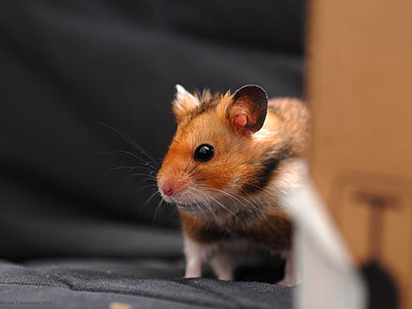 Cute Hamster WallpapersOther Pets Wallpapers Pictures Download 1600x1200