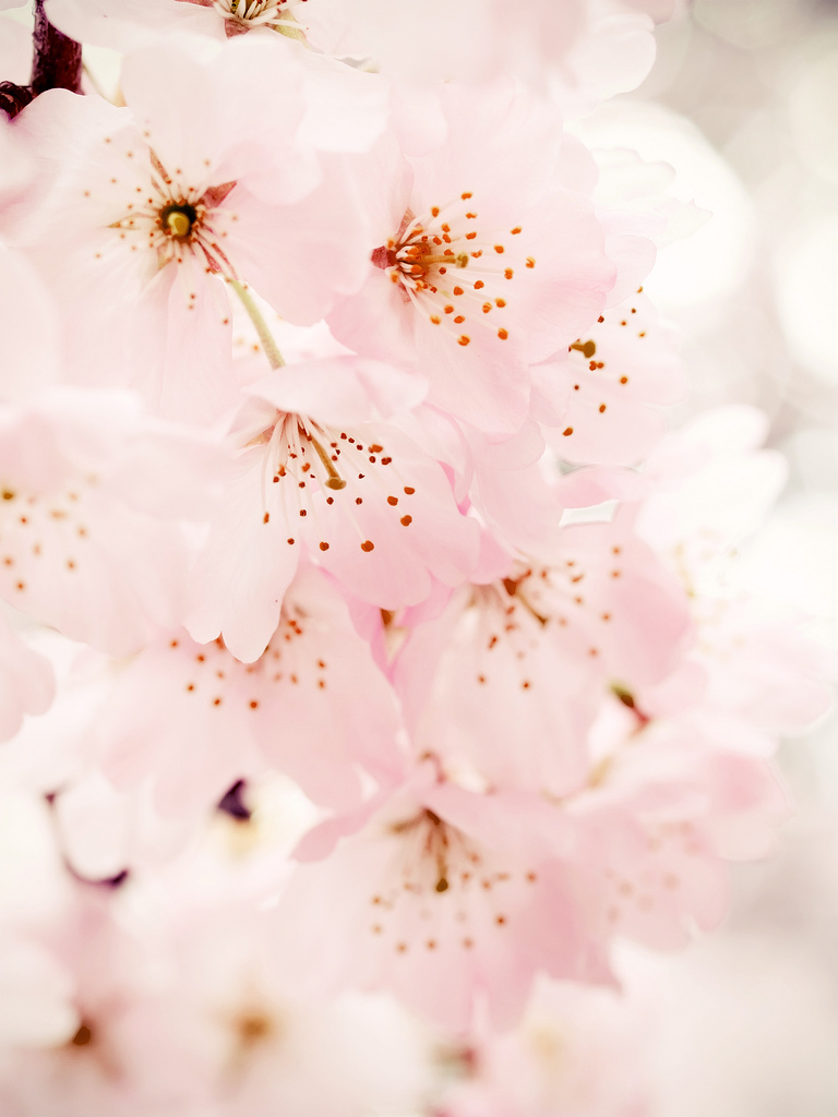 Iphone Wallpaper Cherry Blossom Cherry blossom ipad wallpaper 768x1024