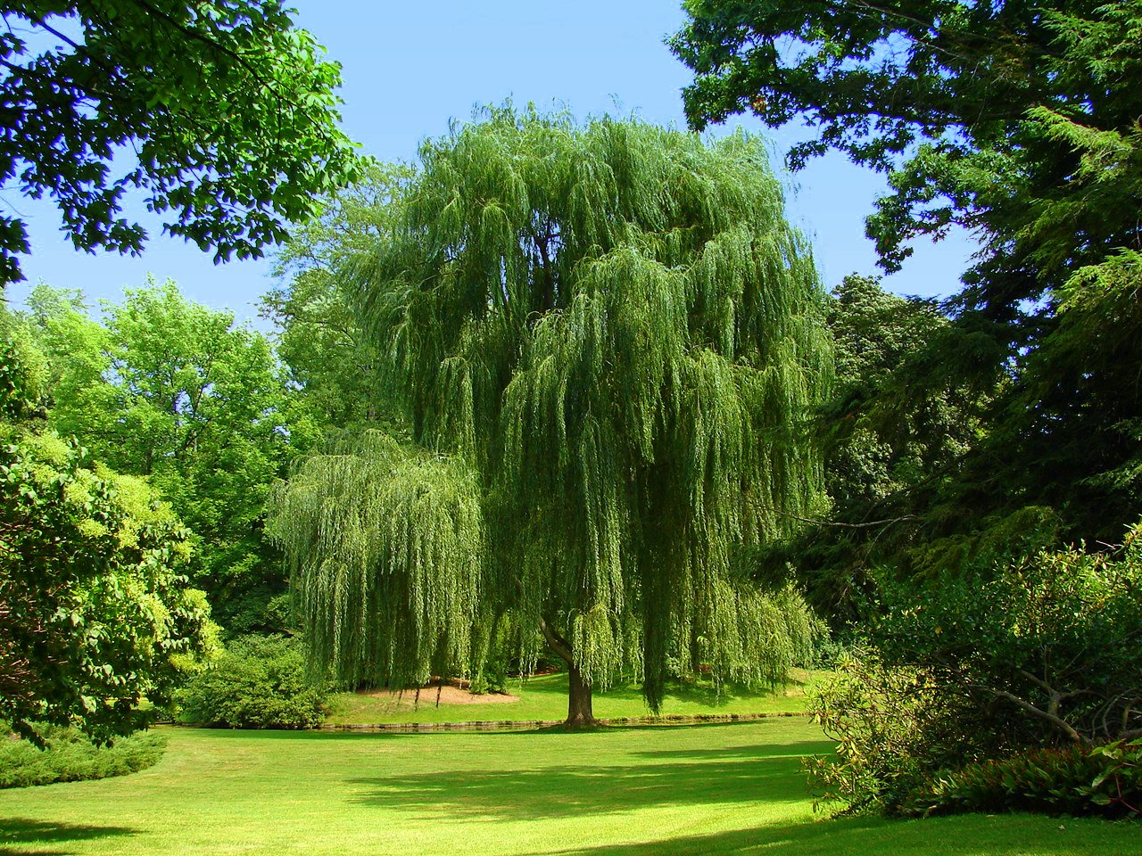 Weeping Willow Tree Wallpaper This gorgeous weeping willow 1280x960