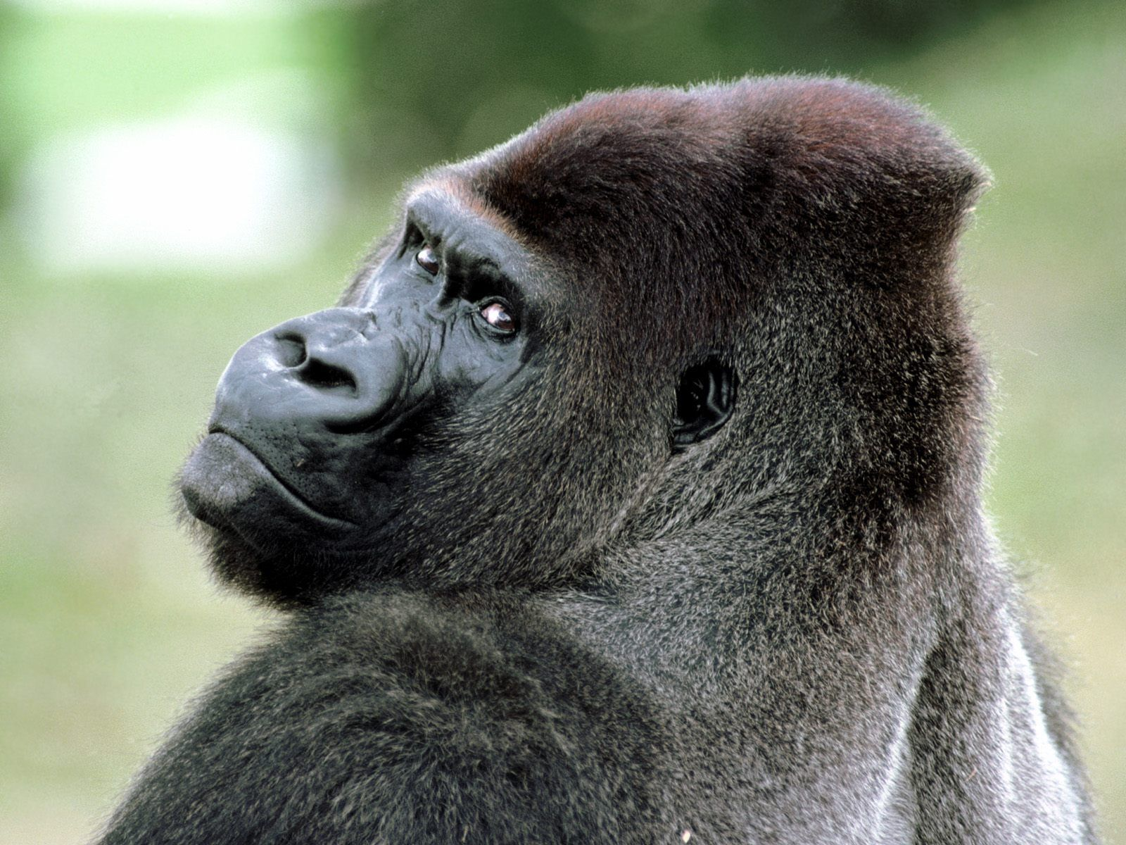 Very Sweet and Cute Animals Funny Gorilla wallpaper for 1600x1200