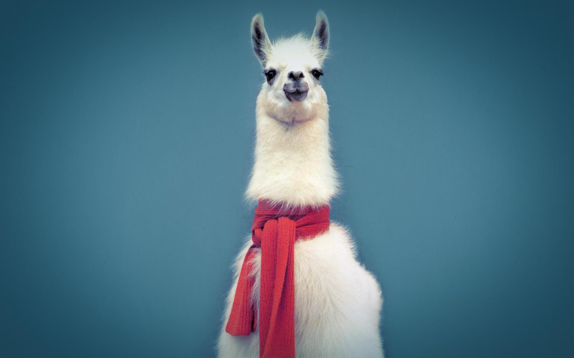 Pics Photos   Cute Llama Wallpaper 1920x1200