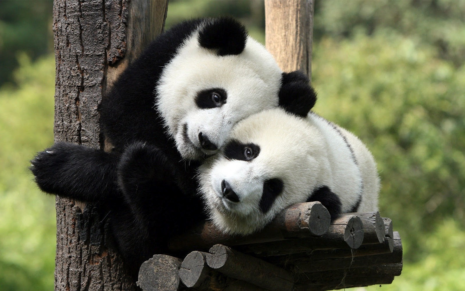 animal wallpaper of two panda bears in a tree Panda bear wallpaper 1600x1000