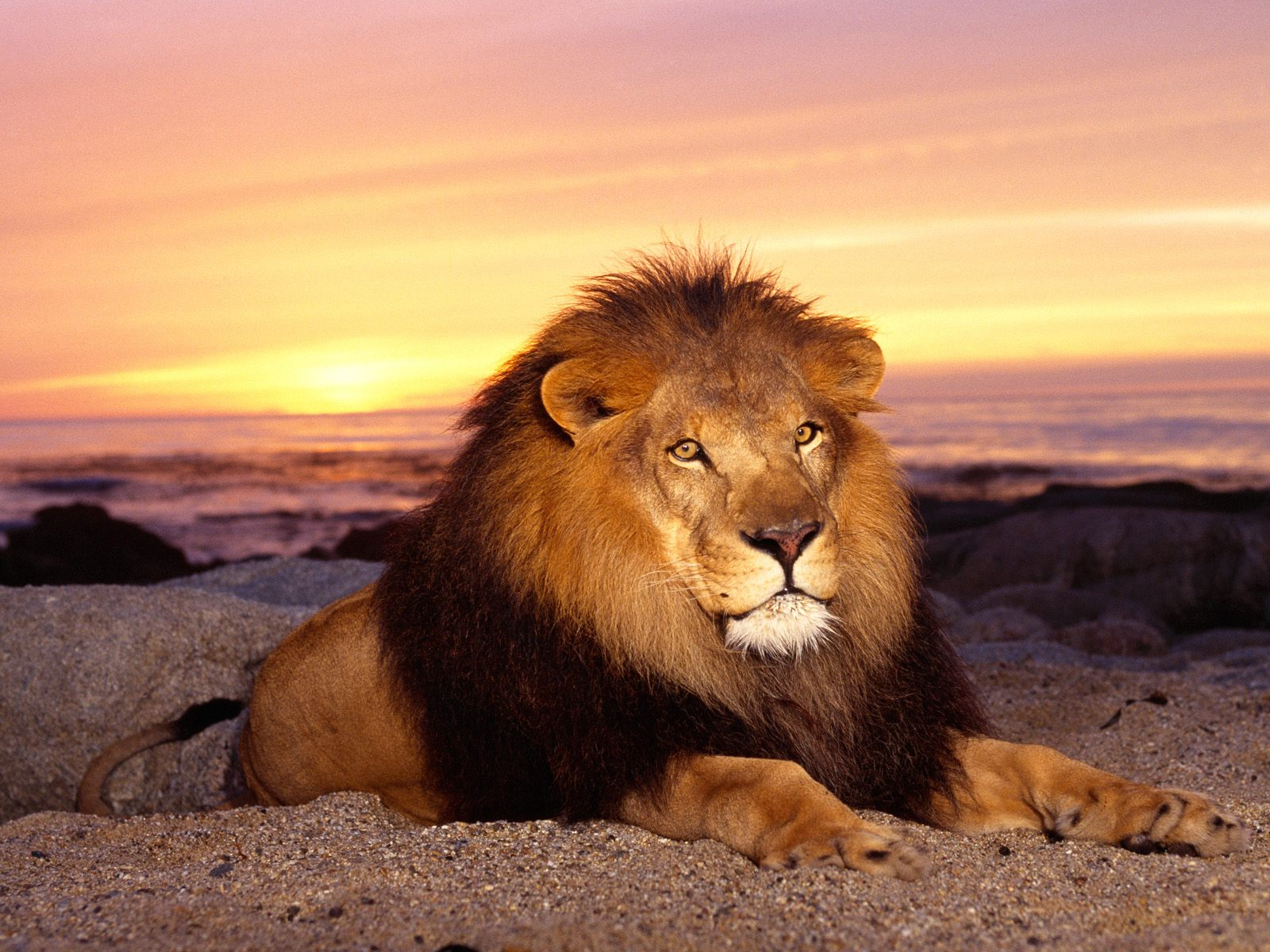 My Top Collection Lions wallpaper 1600x1200