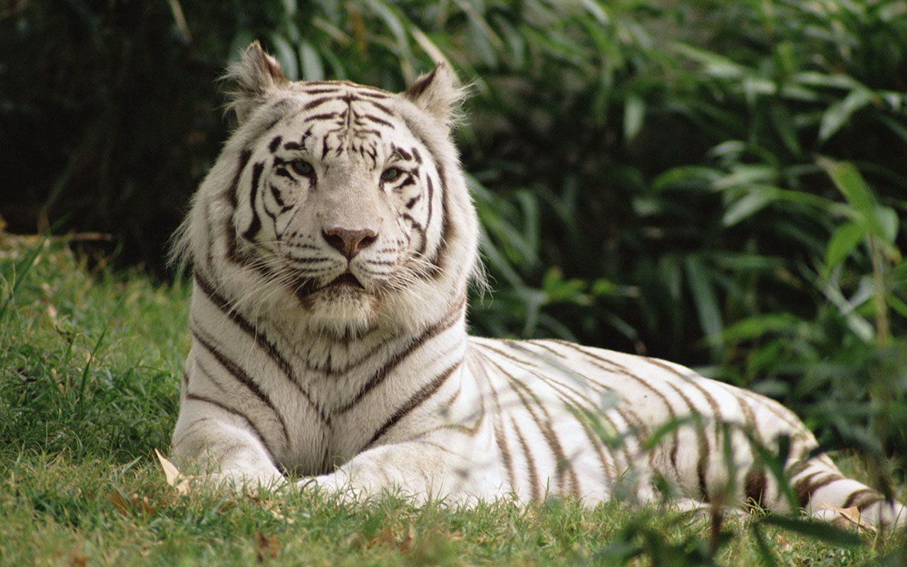 White Tiger HD close up wallpaper 10 Animal Wallpapers 1280x800