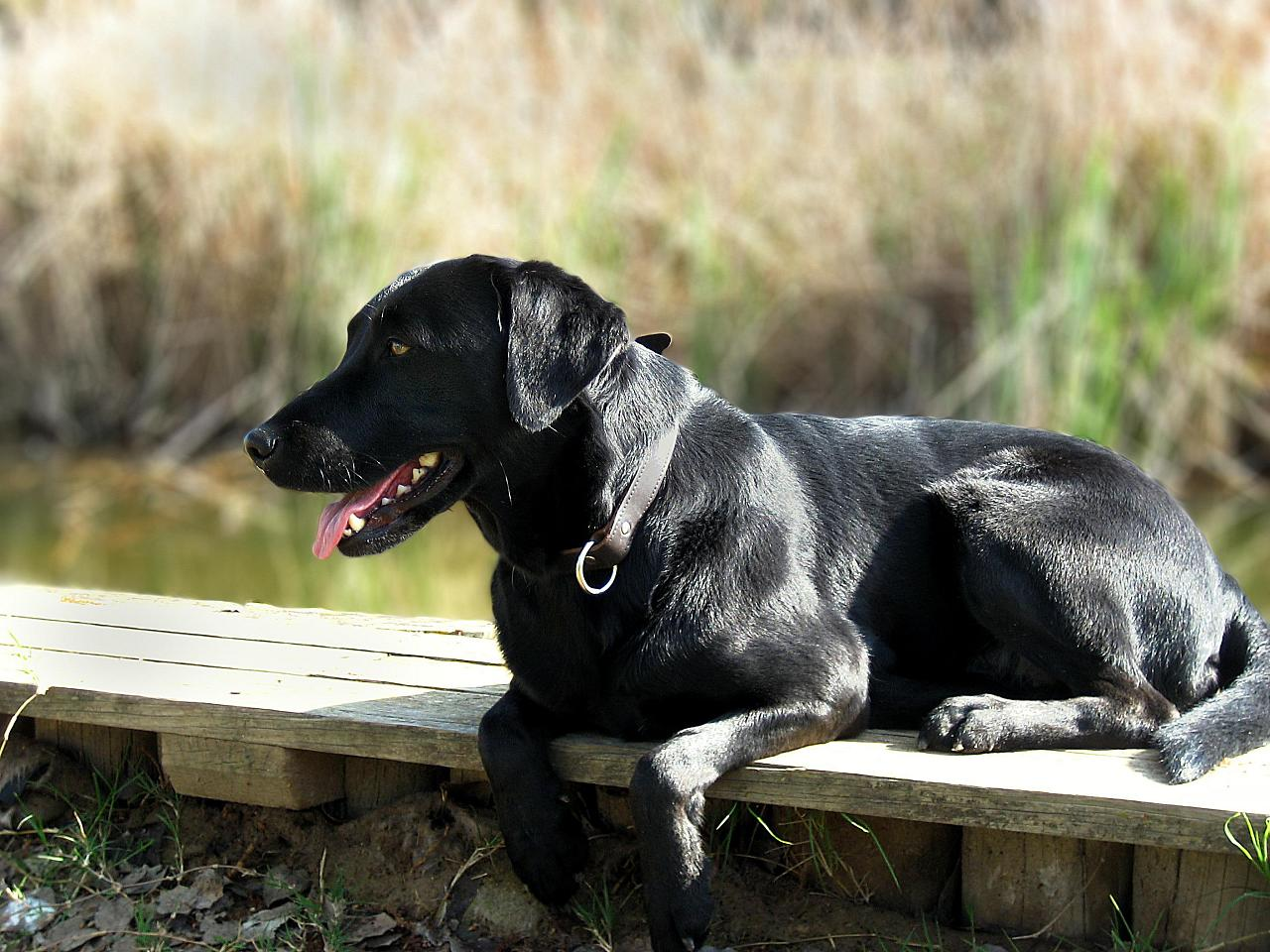 Labrador retriever   Fotos Tu amigo el perro 1280x960
