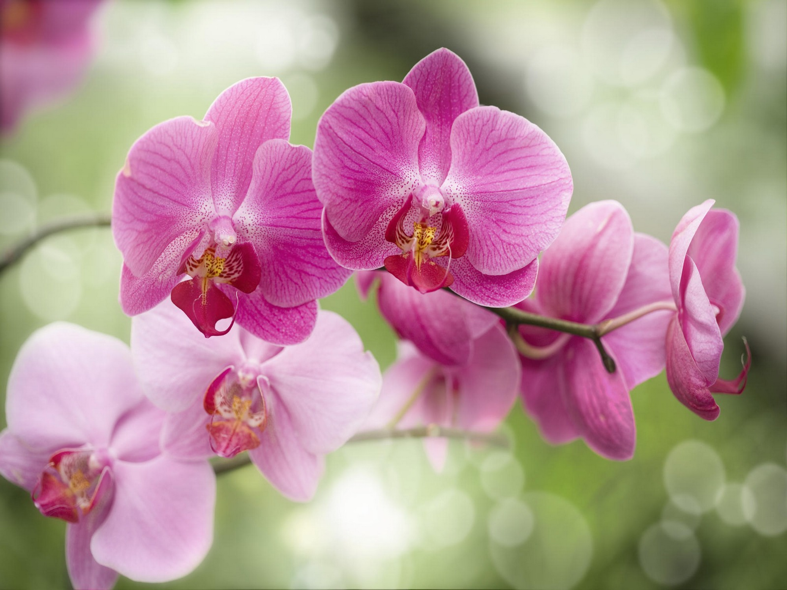 Purple Orchids Wallpaper   wallpaper 1600x1200