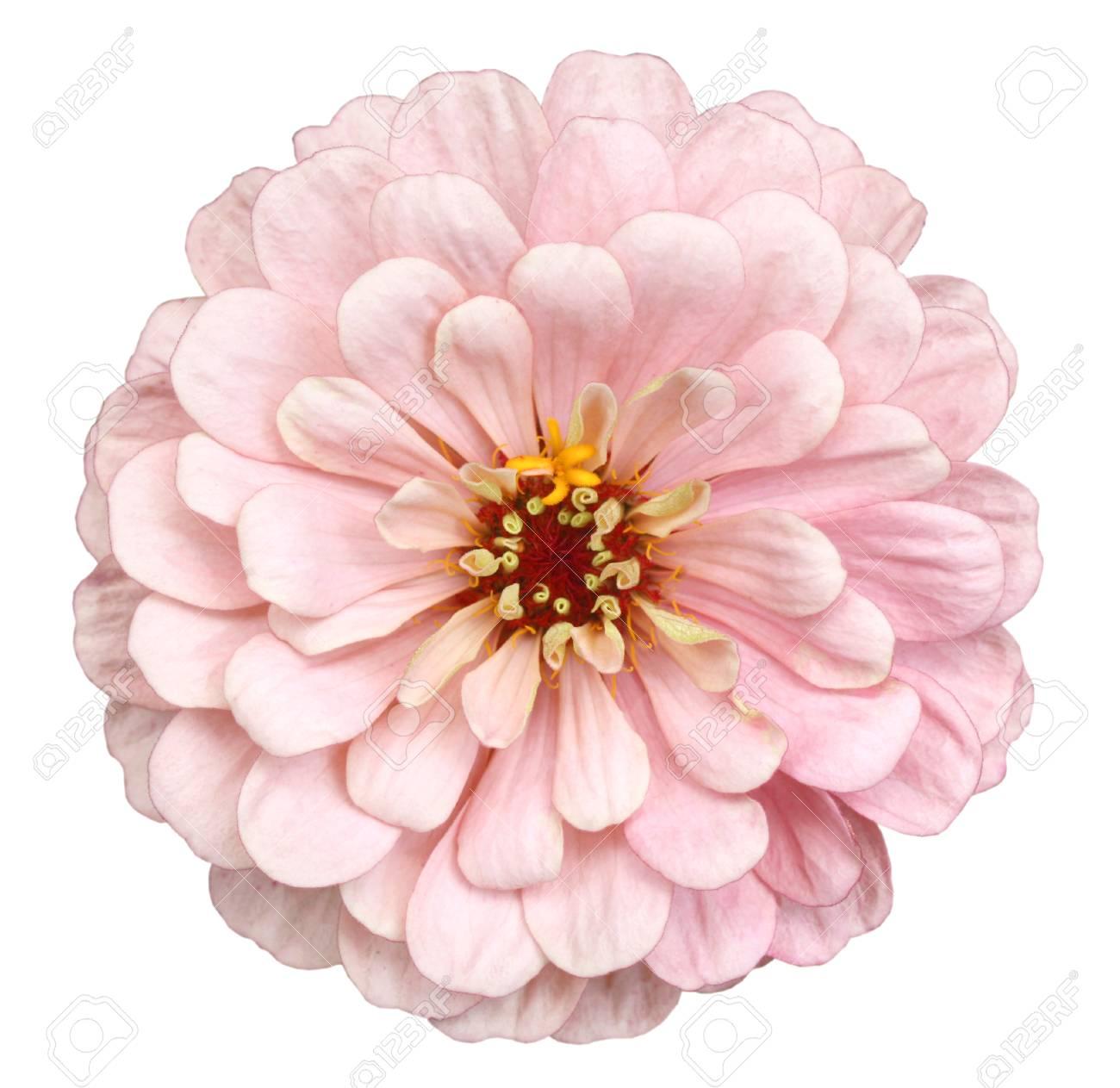 Beautiful Pink Zinnia Flower Isolated On White Background Stock 1300x1263