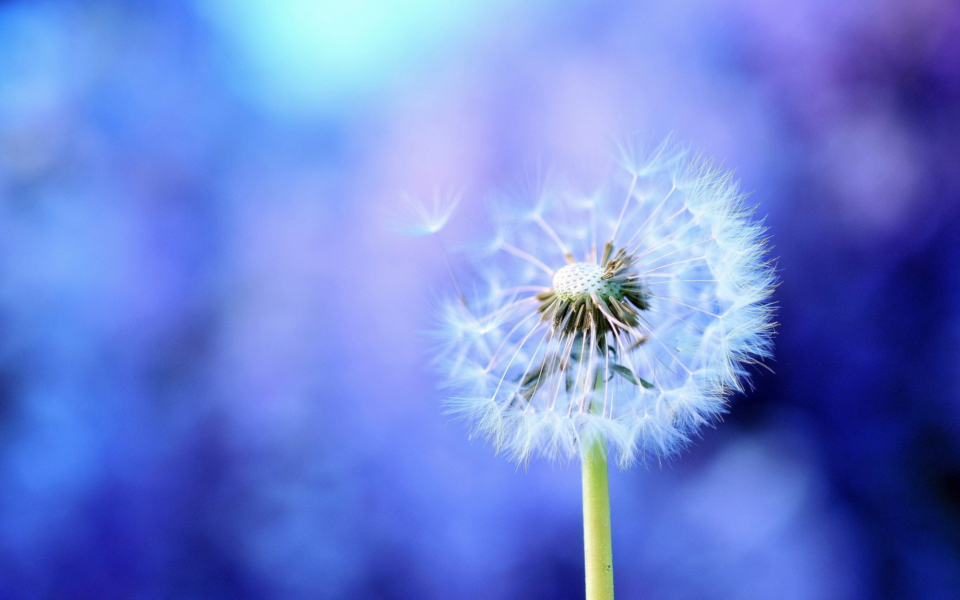 Dandelion wallpapers and images 1920x1200