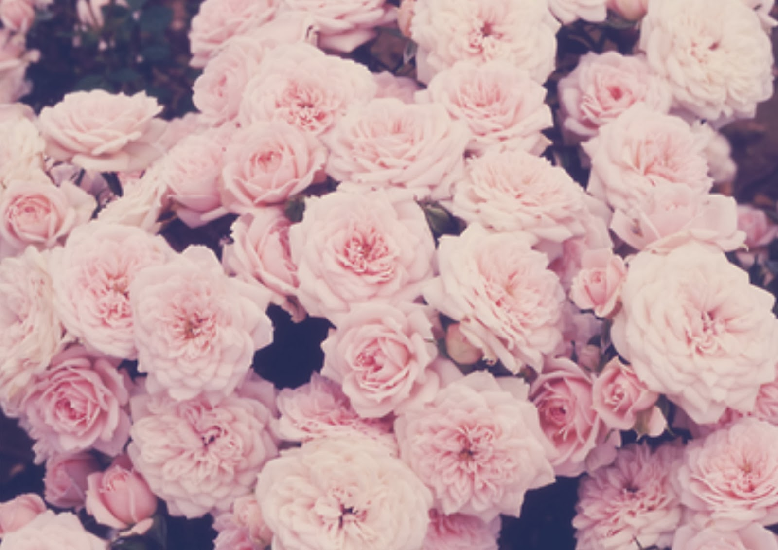 Pink Roses Tumblr Quotes Pink roses than red ones 1600x1131